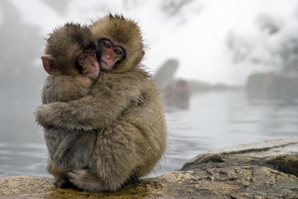 میمون_سرخ_غربی