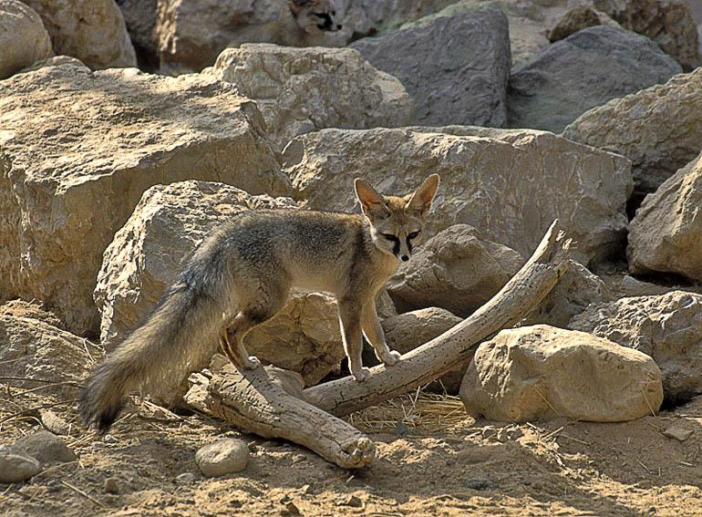 گونه های جانوری نادر ایرانی
