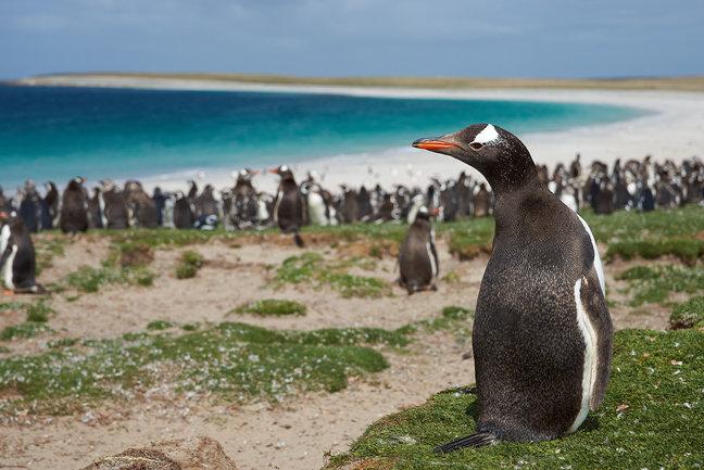 پنگوئن در شیلی