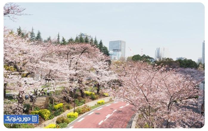 شکوفههای گیلاس ساکورا جشن هانامی