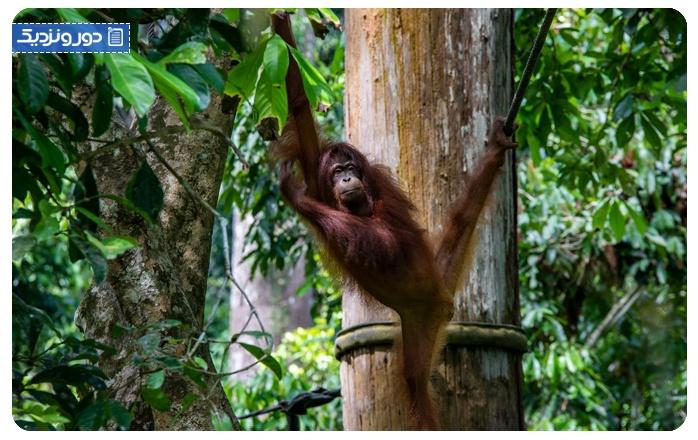 جنگلهای بورِنو Borneo